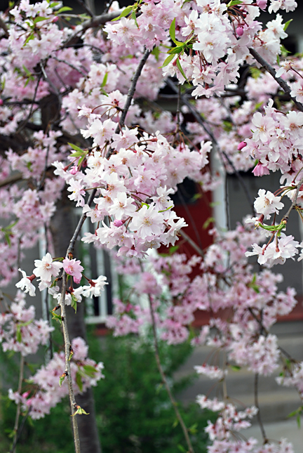 drooping cherry blossom tree